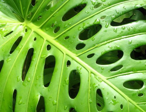 The shade tolerant Philodendron